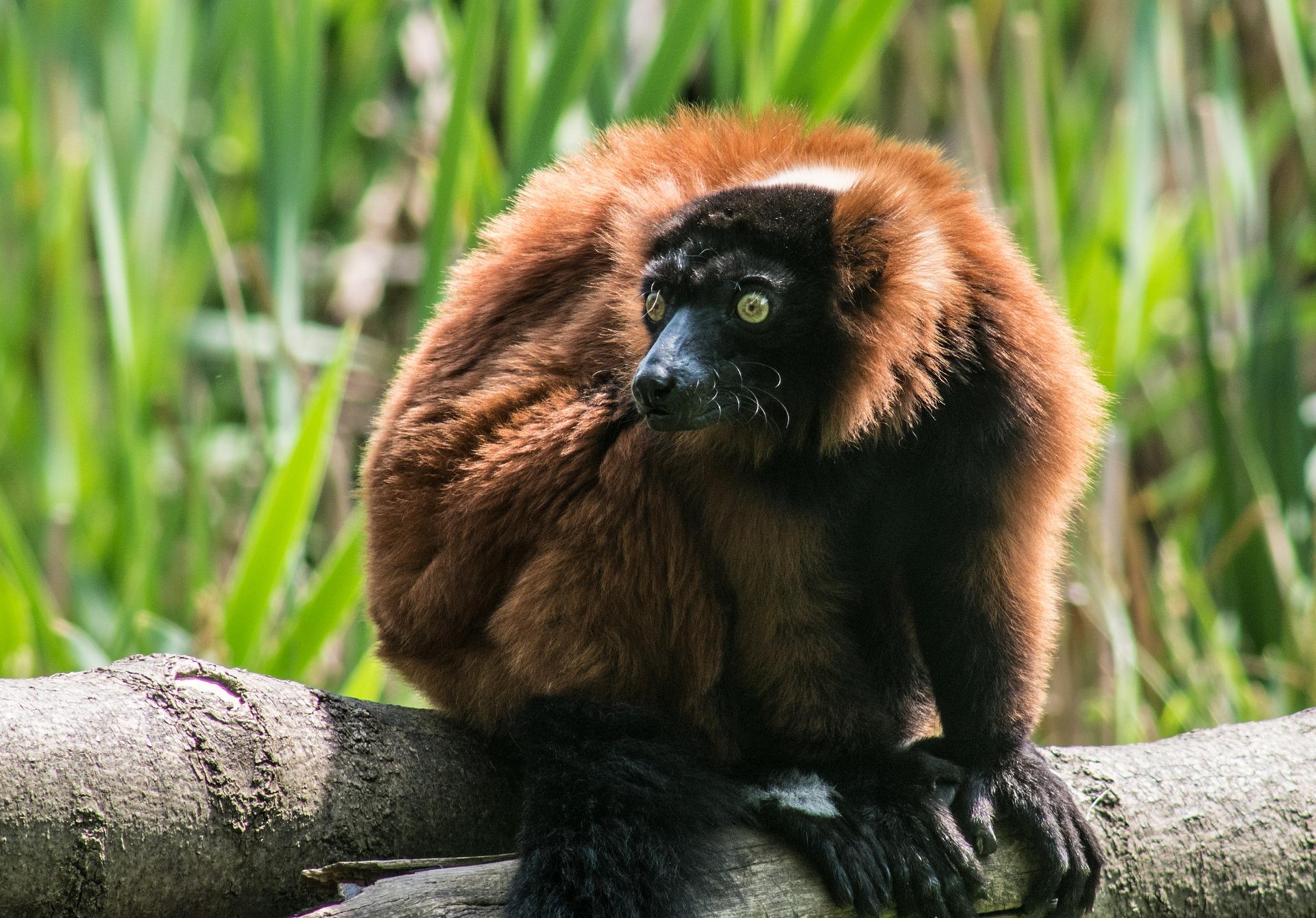 big-brown-lemur-4172870_1920