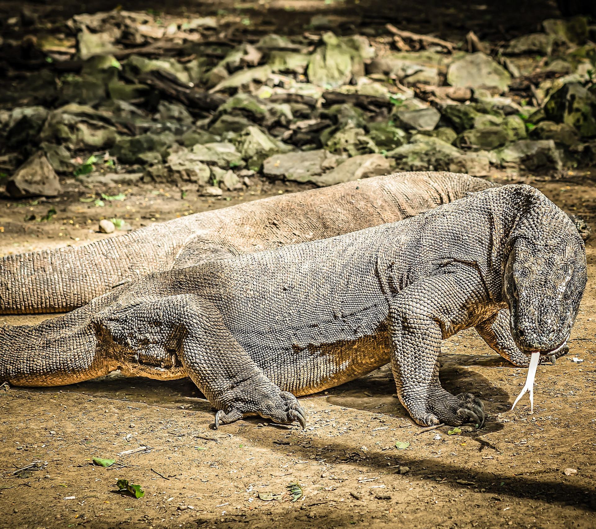 Como ver a los Dragones de Komodo