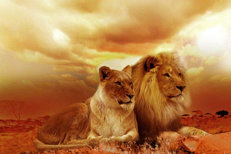 Leones en el Kruger