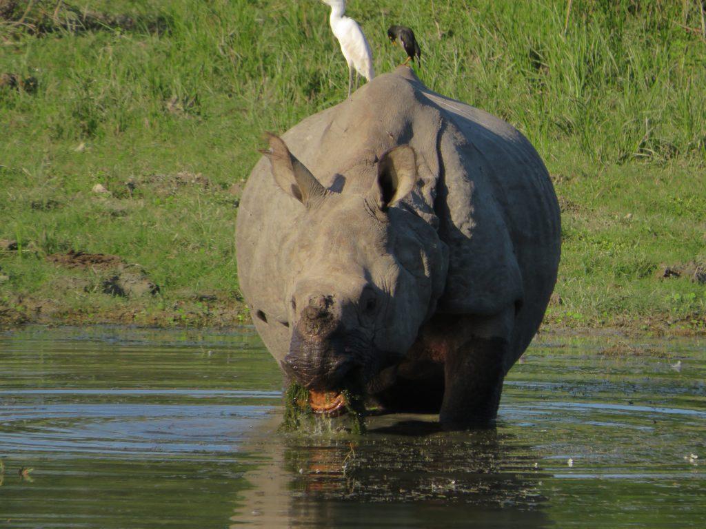 Rinoceronte en el Kaziranga