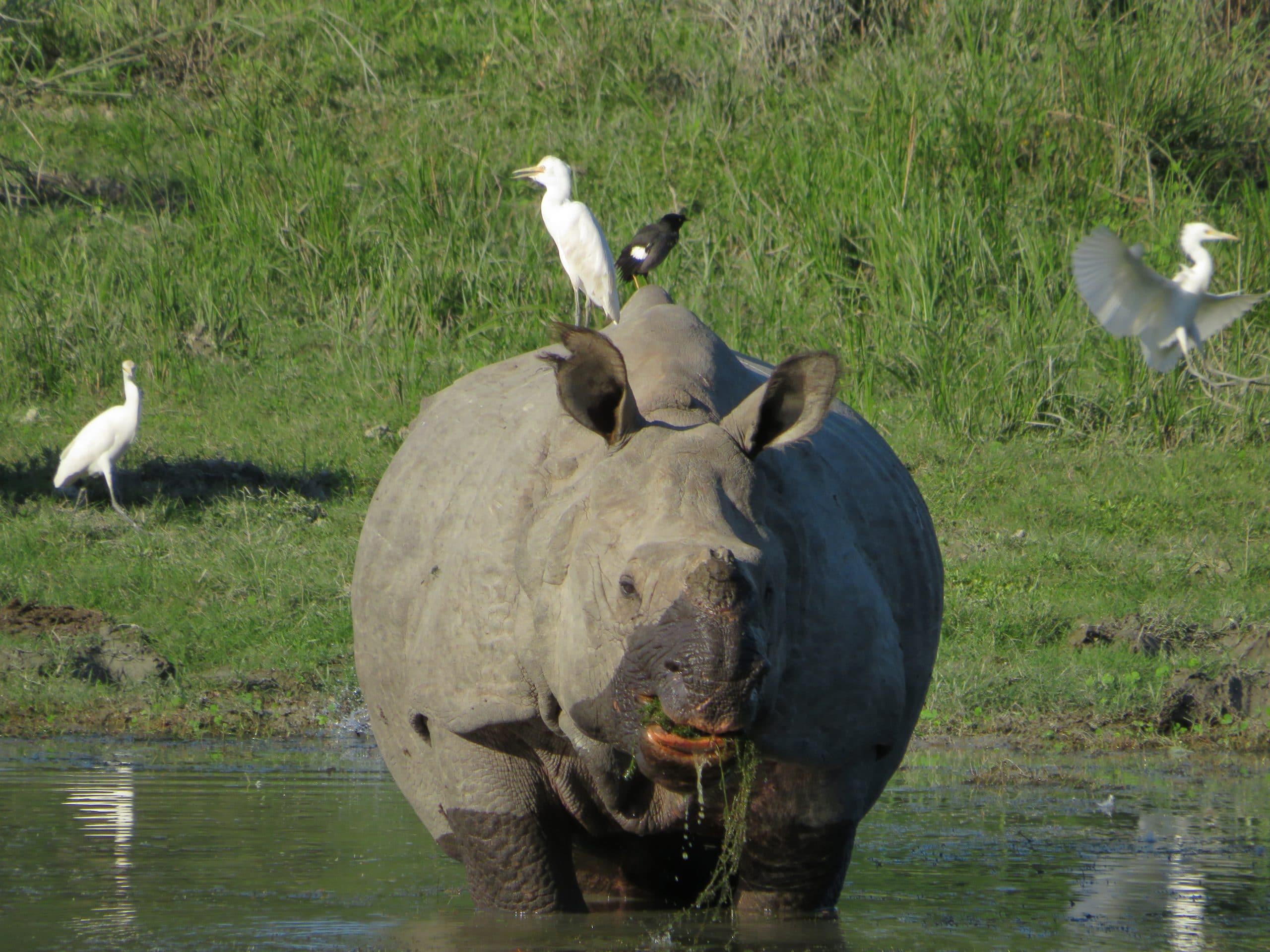 Rinocerontes de 1 solo cuerno