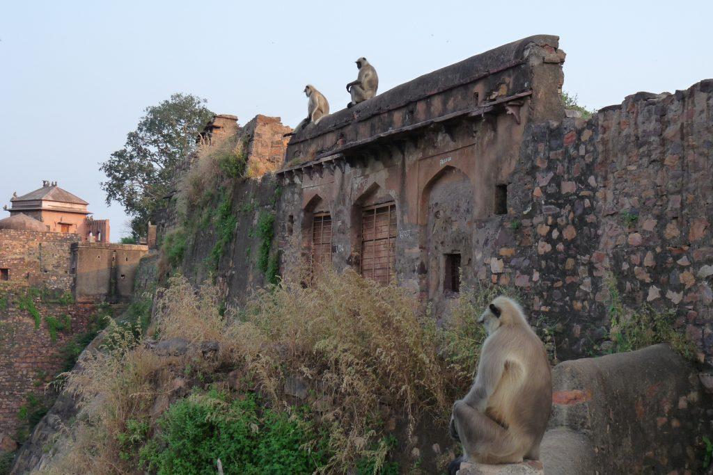 Monos nos dicen adiós desde el fuerte de Ranthambore