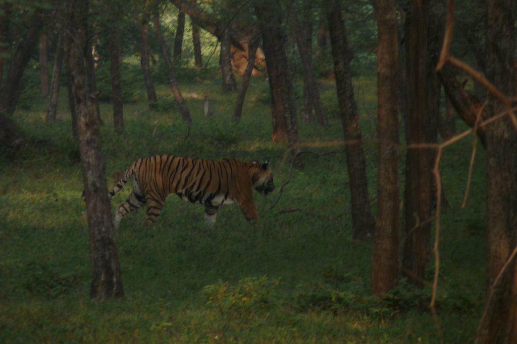 la Tigresa que vimos en nuestro Safari por Ranthambore
